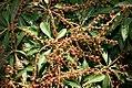 Pieris japonica Compacta 0zz.jpg