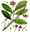 Pilocarpus pennatifolius - Köhler–s Medizinal-Pflanzen-238.jpg