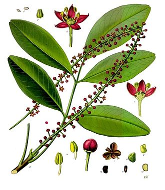 Pilocarpus - Paraguay Jaborandi (Pilocarpus pennatifolius)