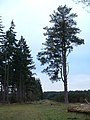 Pine Trees - geograph.org.uk - 341488.jpg