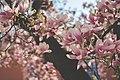 Pink-blossom-locarno (Unsplash).jpg