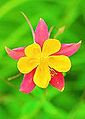 Pink & Yellow Columbine on Green (3653468097).jpg