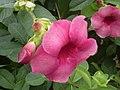 Pinkflower Palenque10304.JPG