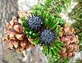 Pinus longaeva 3.jpg