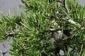 Pinus mugo 5zz.jpg
