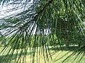 Pinus taeda 12zz.jpg