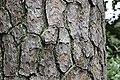 Pinus taeda CG 8 NBG LR.jpg