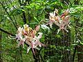 Pinxterflower - Flickr - treegrow.jpg