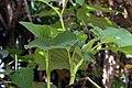 Piper auritum 16zz.jpg