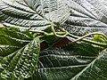 Piperaceae Leaves and Flowers 02.jpg