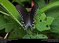 Pipevine Swallowtail (Papilionidae, Battus philenor) (31102439925).jpg