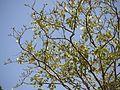 Pipli (Marathi- पिपळी) (4141367132).jpg