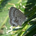 Plains Cupid. Chilades pandava. (DSF) - Flickr - gailhampshire.jpg