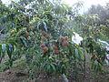 Planta de Durazno.jpg
