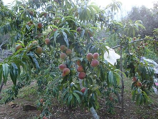 Planta de Durazno