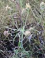 Plantago scabra1.jpg