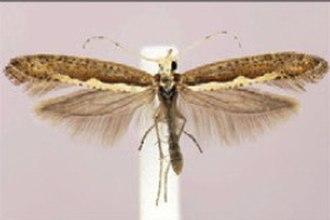 Diamondback moth - Image: Plutella xylostella 2