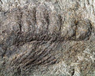 <i>Pneumodesmus</i> Genus of millipedes