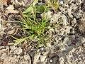 Poa annua (subsp. annua) sl8.jpg