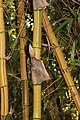 Poales - Bambusa vulgaris - 3.jpg