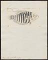 Polyacanthus opercularis - 1700-1880 - Print - Iconographia Zoologica - Special Collections University of Amsterdam - UBA01 IZ13800007.tif