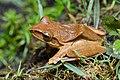 Polypedates megacephalus, Spot-legged tree frog - Phu Kradueng National Park (27985522747).jpg