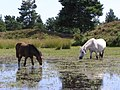 Ponies grazing a pond, Cranes Moor, New Forest - geograph.org.uk - 211581.jpg