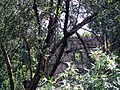 Ponte nomentano through trees.jpg