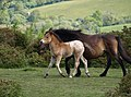 Pony and mare, Easdon Down - geograph.org.uk - 1333604.jpg