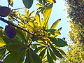 Pouteria sapota leaves from underneath.jpg