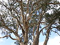Presidio of SF Centennial Tree 2.JPG