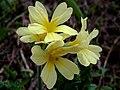 Primula - Flores de los pirineos (10247121704).jpg