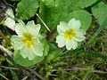 Primula vulgaris.001 - Serra de Enciña de Lastra.JPG