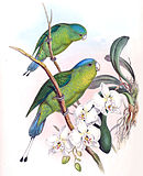 Drawing of two green parrots with darker wings, yellow throat, and blue crown and tail tips