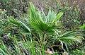Pritchardia glabrata (4797555055).jpg