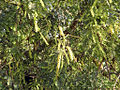 Prosopis cineraria(L.)Druce.jpg