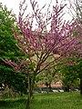 Prunus Persica in Rome 2019 - 09.jpg
