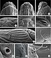 Prymnotomis cecidicola (10.3897-zoologia.36.e34604) Figure 38–48.jpg