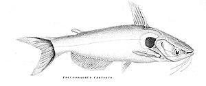 Pseudobagrus - Pseudobagrus chryseus