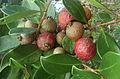 Psidium cattleianum, the Strawberry Guava (10841152214).jpg