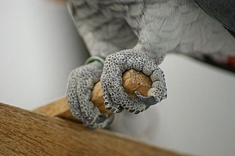 Bird feet and legs - African grey parrot grips the perch with zygodactyl feet.