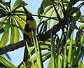 Pteroglossus castanotis Iguazu.jpg