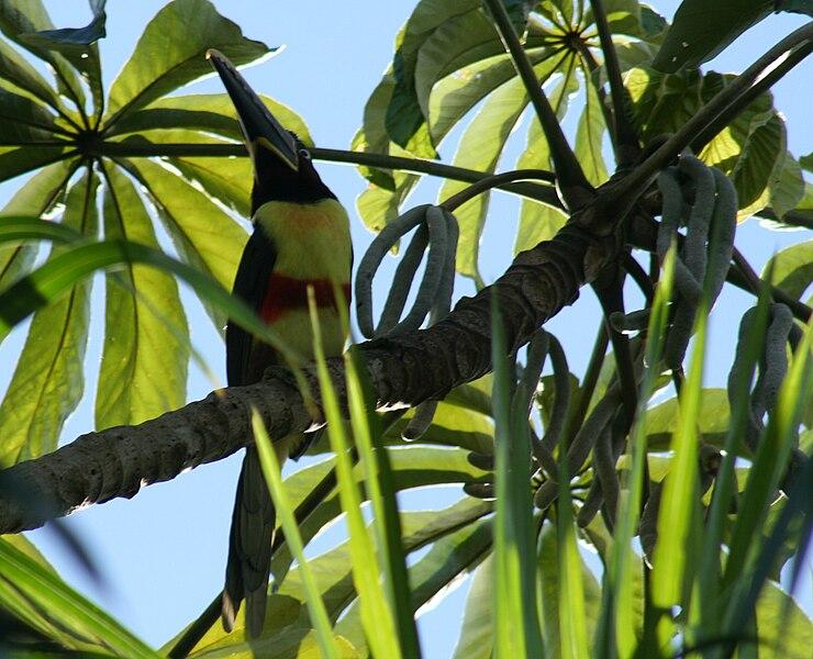 Ficheiro:Pteroglossus castanotis Iguazu.jpg