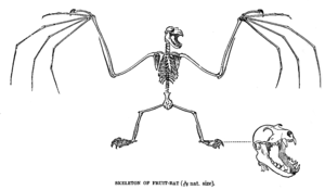 Pteropus - Drawing of skeleton of an Indian flying fox P. giganteus