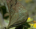 Puccinia helianthi.jpg