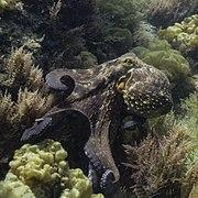 Pulpo común (Octopus vulgaris), Parque natural de la Arrábida, Portugal, 2020-07-21, DD 35.jpg