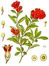 Punica granatum - Köhler–s Medizinal-Pflanzen-115.jpg