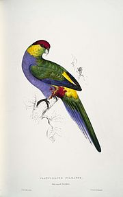 Purpureicephalus spurius -Platycercus pileatus Red-capped Parrakeet -male -by Edward Lear 1812-1888