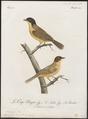 Pycnonotus atricapillus - 1796-1808 - Print - Iconographia Zoologica - Special Collections University of Amsterdam - UBA01 IZ16400021.tif