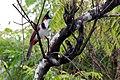 Pycnonotus jocosus1.jpg